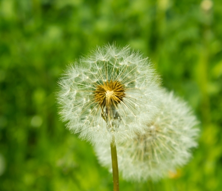 Dandelion against greens photo