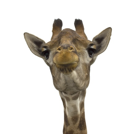 Giraffe (head) look directly on the isolated white background Stock Photo
