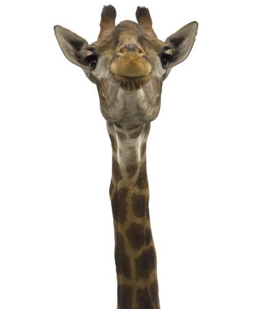 Giraffe (head) look directly on the isolated white background Stock Photo - 17207106