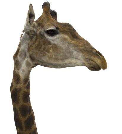 Giraffe (head) look sideways on the isolated white background Stock Photo - 17279300