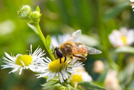 The bee on a flower collects pollen Stock Photo - 17279587