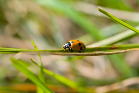 The ladybird in wood creeps on a blade