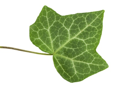 Leaf of a tree the Ivy on the isolated white background Stock Photo