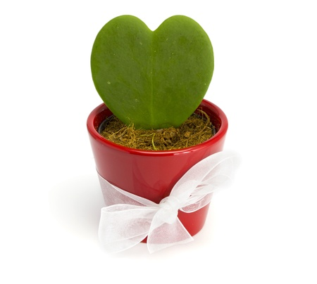 Cactus heart in a red pot on the white isolated background photo