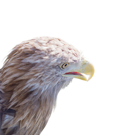Eagle on an isolated white background photo