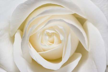 Floral background of white roses in macro scale