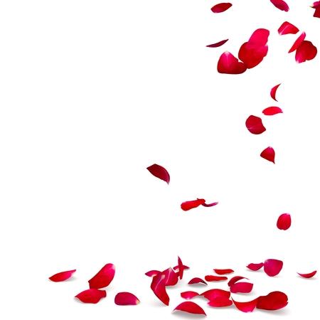 장미 꽃잎이 바닥으로 떨어집니다. 고립 된 배경