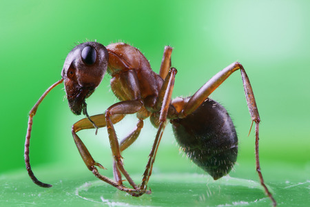 The ant in the macro scale on a green background. The photo was taken by the method of stacking