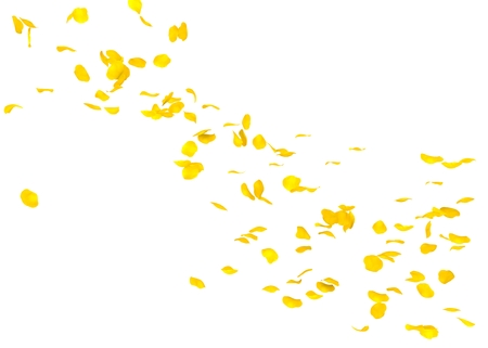 The petals of a yellow rose fly far into the distance. White isolated background.