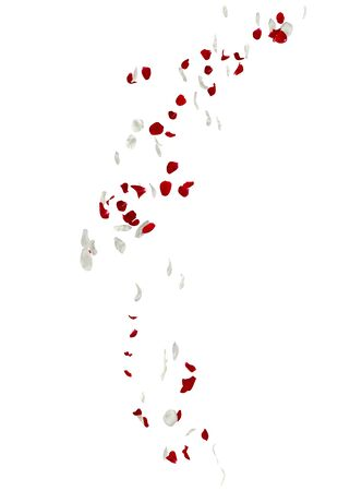 Red and white rose petals fall to the floor. Isolated white background Stockfoto - 128534351