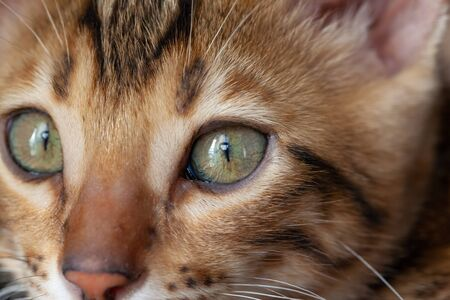 Face of a Bengal cat in macro scale Imagens