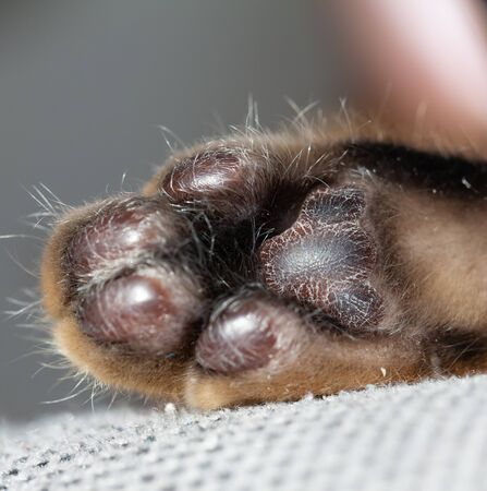 Bengal cat's paw in macro photography. Black pads