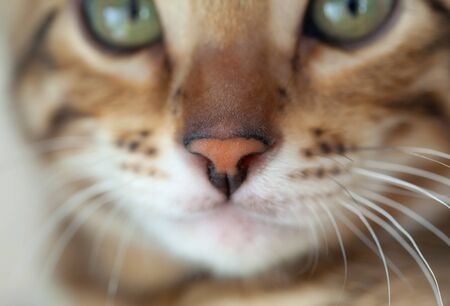 A Bengal cat lies and looks at the camera. The nose is in the sharpness zone. Macro scale Zdjęcie Seryjne