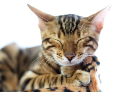 A Bengal cat sleeps on a soft leopard-print pillow. White isolated background Zdjęcie Seryjne