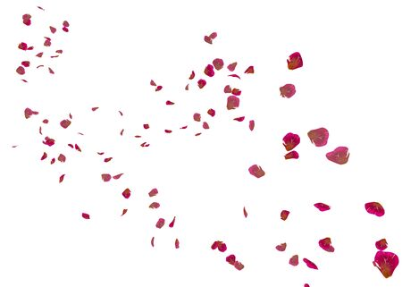 Red ribbed rose petals swirl in the air. White isolated background Zdjęcie Seryjne