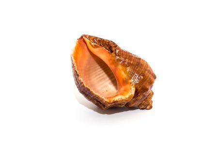 Seashell from the Black Sea photo