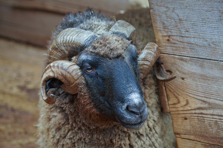 twirled: old RAM with twirled horns near the shed