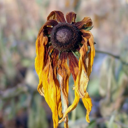 senescence: one withered flower