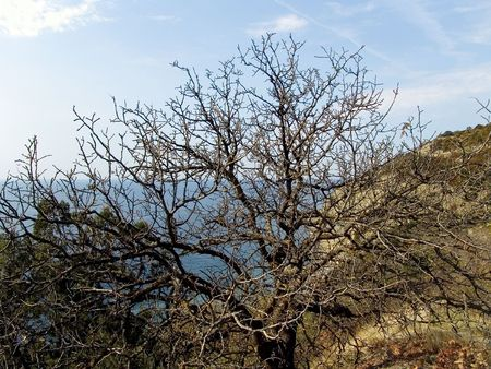 wither: dry bare branches  of wither tree  on a coast the Black sea Stock Photo