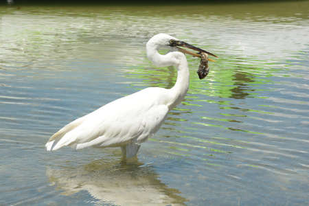 White heron with its food, is a bird with white plumage, large and slender. It inhabits all kinds of wetlands in temperate and tropical regions. Stockfoto