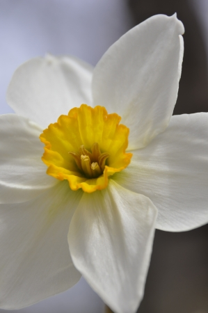 Close-up of a white narcissus with yellow center