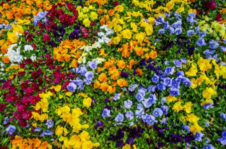 Field of vibrant multi colored pansy flowers