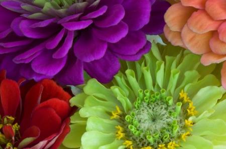 Close up of four multi colored Dahlia flowers