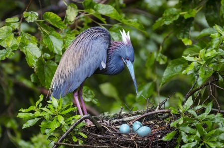 Tri-colored heron in a nest looking at its eggs