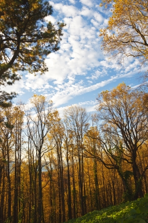 Golden autumn foliage - Hickory Trees in the mountains of North Carolina