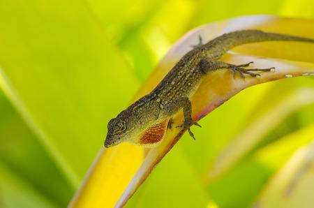 Brown anole lizard displaying his dewlap