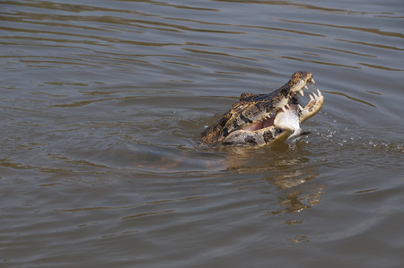 Caiman eating a fish in Pantanal, Brazil