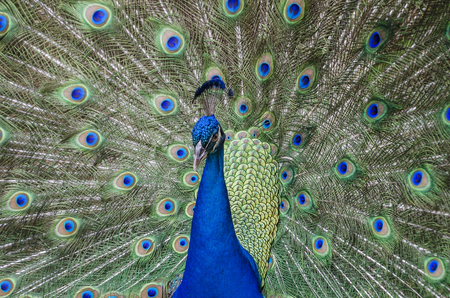 Peacock displaying his tail