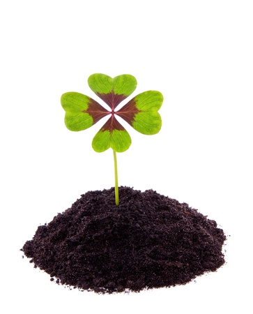 a four leaf lucky clover is growing in the soil isolated over white photo