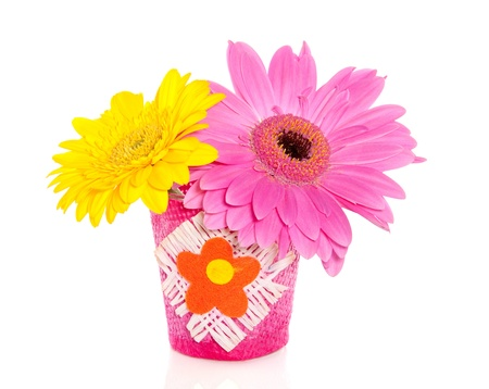 two colorful gerber flowers in a little vase isolated over white background