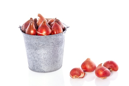 tulip bulbs in an iron bucket