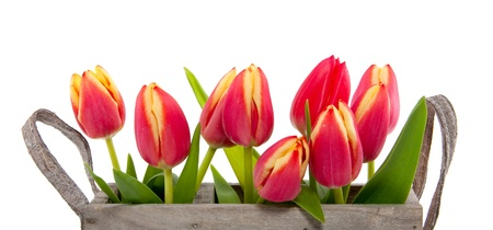 a bundle of red tulips with yellow edges in a wooden box isolated over white photo