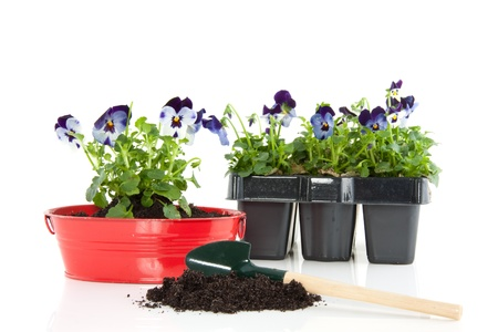 colorful blue purple pansy in a red iron tub with a shovel and soil isolated over white Stock Photo