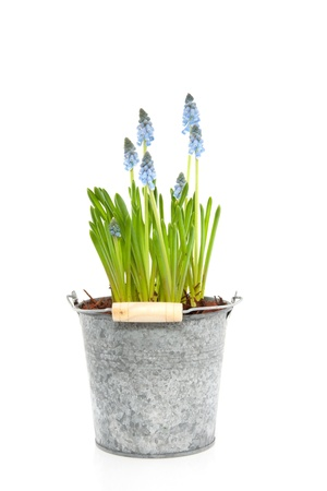 blue grape hyacinths in a  zinc pot with handle isolated over white