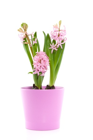 three pink hyacinths in a pink vase isolated over white photo