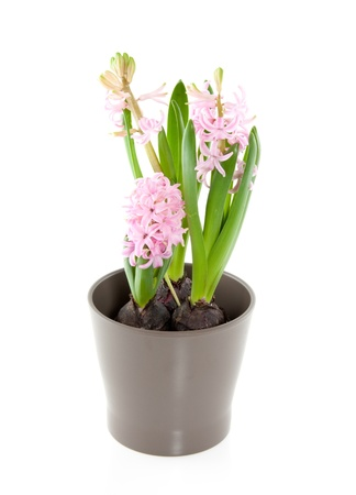 three pink hyacinths in a brown pot isolated over white Stock Photo