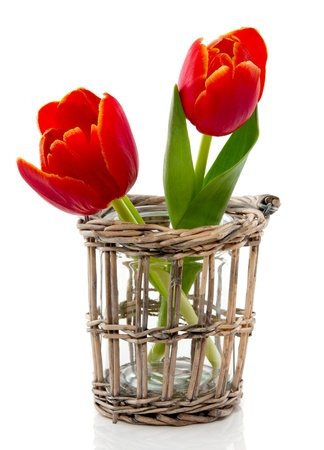 two red tulips with yellow edges in a brown wicker little vase isolated over white Stock Photo
