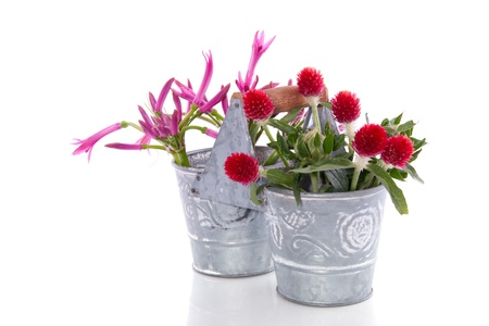 pink red flowers in an iron double bucket isolated over white background photo