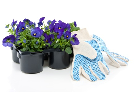 a black plastic tray with blue purple pansy isolated over white