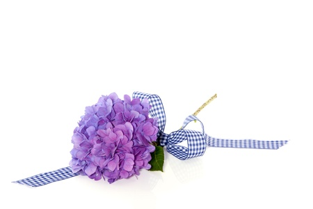 a single blue purple hydrangea decorated with a ribbon photo