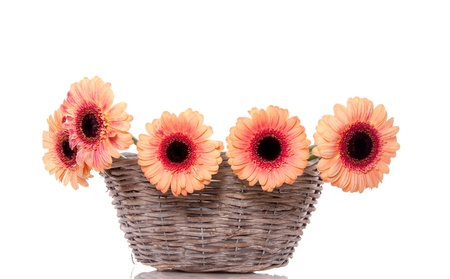 orange pink gerber flowers in a wicker basket