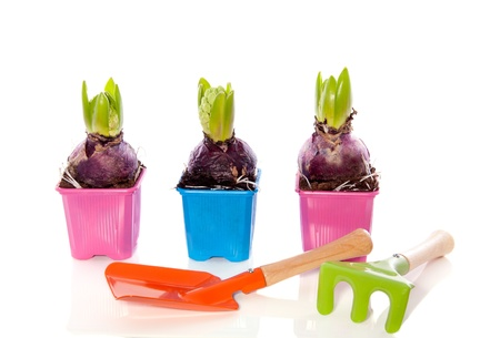 pink and purple hyancinth bulbs in pots with garden tools isolated over white