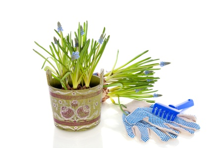 garden tools and blue grape-hyacints in a flower pot isolated over white