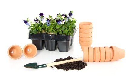 planting violet blue pansy in terracotta flowerpots isolated over white Stock Photo