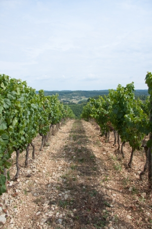 vineyard on a hill in France le Dordogne Stock Photo