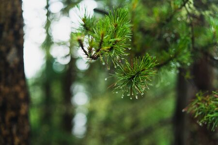 Pine tree branch with droplets of water hanging on the needles Stok Fotoğraf